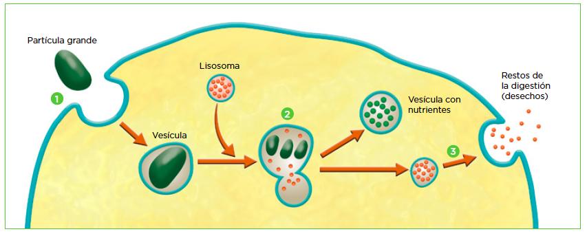 Endocitosis y exocitosis