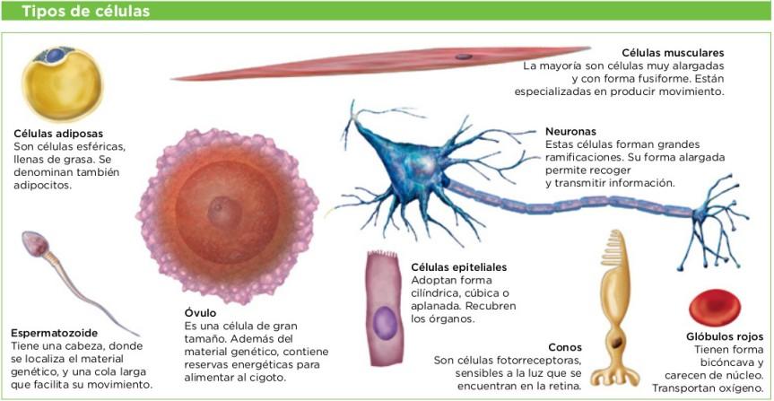 Tipos de células humanas